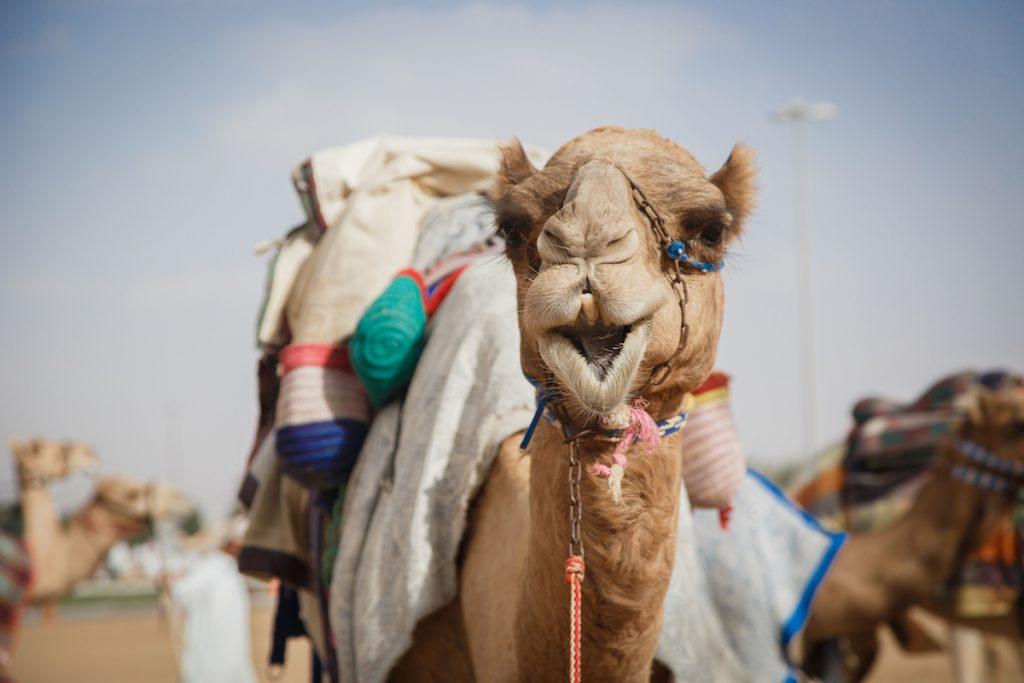 Camel Closeup. Image by Tomasz Glanclerz via Shutterstock