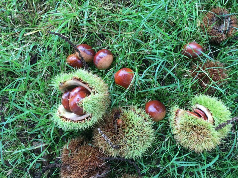 conkers on the grassy ground