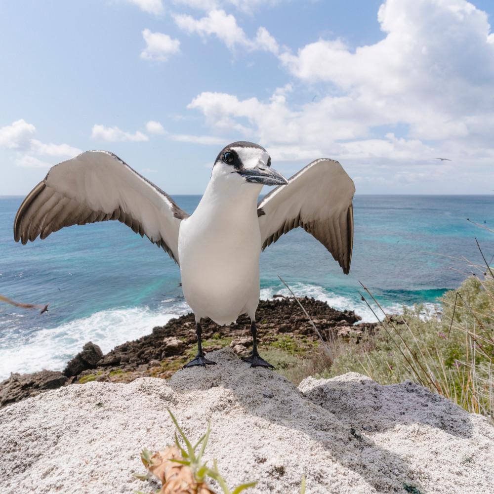 Sooty Tern, Lord Howe Island. Image: Zach Sanders
