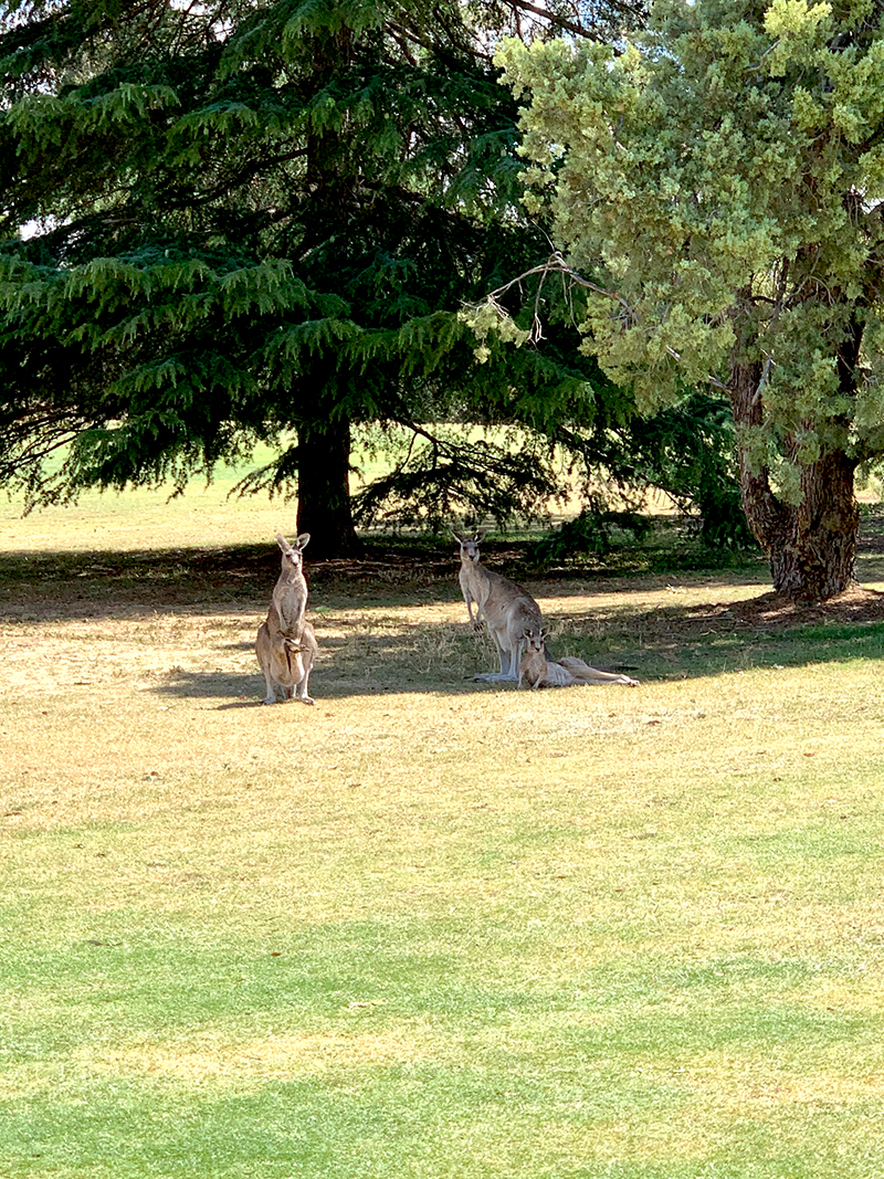 Cobram Golf Club, The Murray. Grey Wallabies/ Kangaroos. Image via Rebecca Cherote for Hunter and Bligh