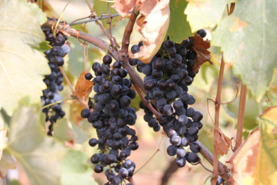 Grapes. Image supplied