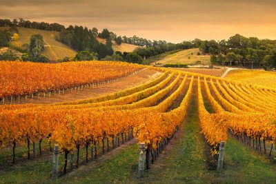 Adelaide Hills Vineyard. Photographed by kwest. Image via Shutterstock
