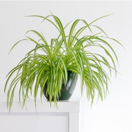 <strong>1. Spider Plant</strong> <em>Chlorophytum Comosum</em>