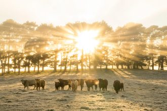 Morning sun shining over a flock of cattle in the Southern Highlands. Image: Destination NSW