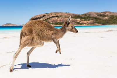 Kangaroo on Kangaroo Island South Australia. Photographed by Alberto Zornetta. Image via Shutterstock