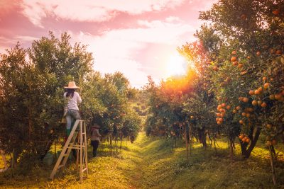 Fruit picking orchard estate Australia. Photographed by Kukiat B. Image via Shutterstock