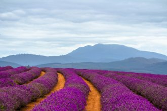 Bridestowe Lavender Estate Tasmania. Photographed by Liam Preece. Image via Shutterstock.