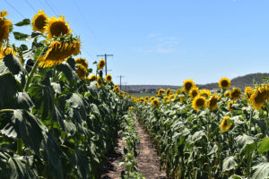 Allora Sunflower Field. Photographed by Madeline Paulsen. Image supplied via Hunter and Bligh