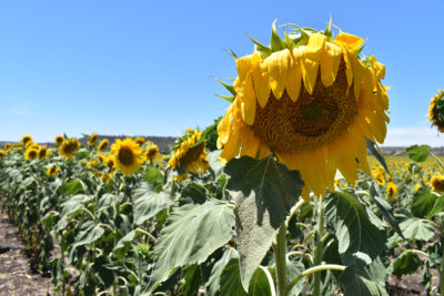 Sunflower in Allora Sunflower Field. Photographed by Madeline Paulsen. Image supplied via Hunter and Bligh
