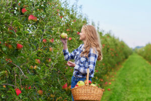 Woman Picking Apples in Orchard. Photographed by Ekaterina Pokrovsky. Image via Shutterstock