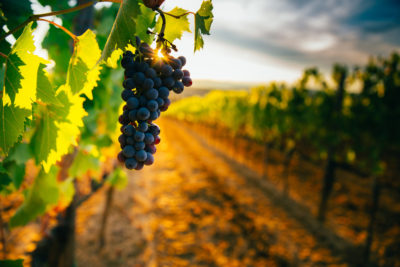 Vineyard with sunset in background. Photographed by Angyalosi Beata. Image via Shutterstock
